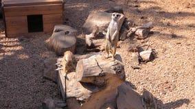 Um grupo de meerkats bonitos, um meerkat no jardim zoológico examina o território video estoque