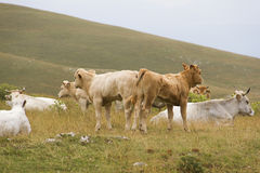 Um grupo de muitas vacas recém-nascidas na natureza Fotografia de Stock Royalty Free
