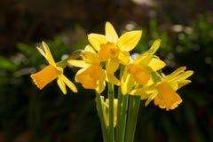 Um grupo de narcisos amarelos diminutos Fotografia de Stock Royalty Free