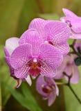 Um grupo de orquídeas roxas e brancas Fotografia de Stock Royalty Free