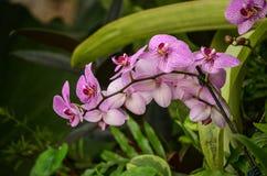 Um grupo de orquídeas roxas e brancas fotos de stock royalty free