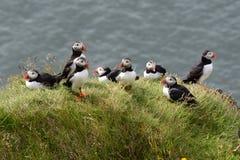 Um grupo de papagaio-do-mar Imagens de Stock
