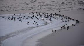 Um grupo de pato selvagem Foto de Stock
