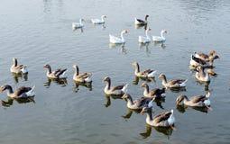 Um grupo de patos Imagem de Stock