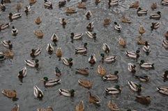 Um grupo de patos Fotografia de Stock Royalty Free