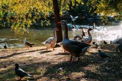 Um grupo de patos e de pombos no lago foto de stock royalty free