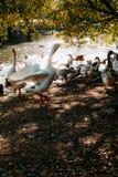Um grupo de patos e de pombos no lago fotografia de stock royalty free