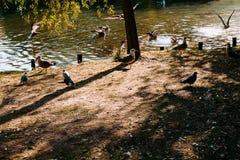 Um grupo de patos e de pombos no lago fotografia de stock