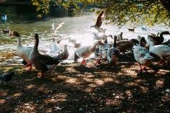 Um grupo de patos e de pombos no lago fotos de stock