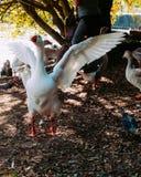 Um grupo de patos e de pombos no lago foto de stock