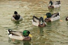 Um grupo de patos em fazendas de criação Fotografia de Stock