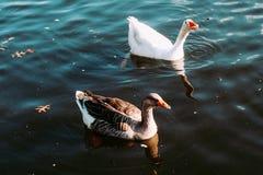 Um grupo de patos no lago fotografia de stock
