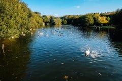 Um grupo de patos no lago fotos de stock