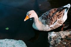 Um grupo de patos no lago imagens de stock royalty free