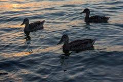 Um grupo de patos que nadam no lago Balaton na noite em Hungria Foto de Stock