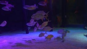Um grupo de peixes tropicais perto da parte inferior arenosa é iluminado com luz de néon azul vídeos de arquivo