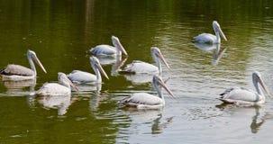 Um grupo de pelicanos Fotografia de Stock Royalty Free