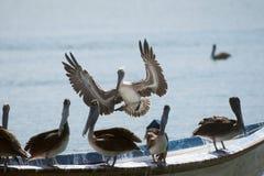 Um grupo de pelicanos Fotografia de Stock