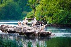Um grupo de pelicanos que sentam-se em uma rocha do lago park do ` de St James, Londres fotos de stock