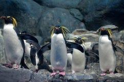 Um grupo de pinguim do norte do rockhopper com um olhar ameaçando e as asas da propagação que estão nas rochas e que olham para a fotos de stock