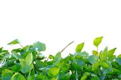 Um grupo de planta do jacinto que cresce em uma superfície do rio no fundo isolado branco fotografia de stock