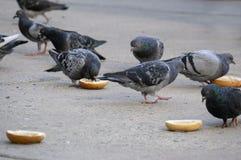 Um grupo de pombos que comem Bagels no passeio de Philadelphfia imagens de stock