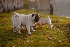 Um grupo de pugs com um olhar engraçado que aspira na grama verde fotos de stock royalty free
