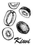Um grupo de quivi e de fatias Ilustração botânica do alimento Ilustração do vetor com fruto do esboço Rebecca 36 Imagem de Stock Royalty Free