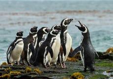 Um grupo de recolhimento do pinguim de Magellanic em uma costa rochosa de Falklan fotografia de stock