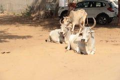 Um grupo de símbolo indiano santamente da vaca da fé hindu imagem de stock