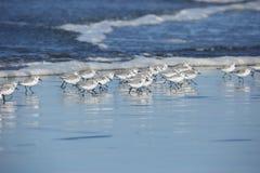 Um grupo de sanderlings na plumagem do inverno que corre na costa do oceano fotografia de stock royalty free