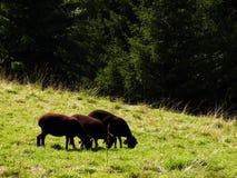 Um grupo de três carneiros de pastagem pretos fotografia de stock