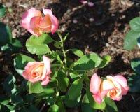 Um grupo de três Rose Buds pequena Imagens de Stock