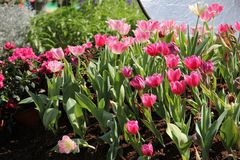 Um grupo de tulipa cor-de-rosa no jardim imagem de stock royalty free
