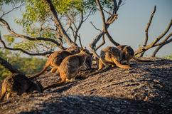 Um grupo de ualabis de rocha Fotos de Stock