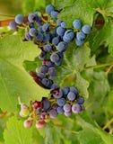 Um grupo de uvas. Imagens de Stock