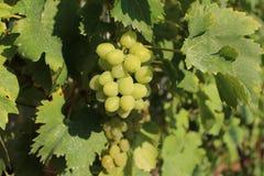 Um grupo de uvas Imagens de Stock Royalty Free