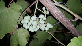 Um grupo de uvas para vinho pendura de um ramo Fotos de Stock Royalty Free