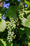 Um grupo de uvas verdes imagem de stock