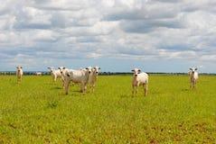Um grupo de vacas Fotografia de Stock
