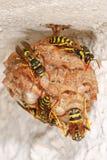 Um grupo de vespas que constroem e que enchem o ninho com seus ovos Foto de Stock