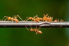 Um grupo de Weaver Ant Imagens de Stock