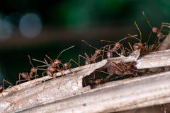Um grupo de Weaver Ant Fotos de Stock