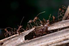 Um grupo de Weaver Ant Imagem de Stock