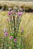 Um grupo de wildflowers cor-de-rosa é isolado em uma imagem de um pasto foto de stock