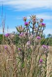 Um grupo de wildflowers cor-de-rosa é isolado em uma imagem de um pasto imagem de stock royalty free