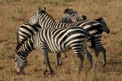 Emaranhado da zebra em Serengeti Imagem de Stock Royalty Free