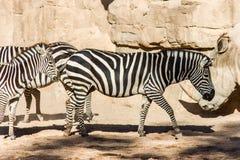 Um grupo de zebras que pastam em uma paisagem rochosa fotos de stock
