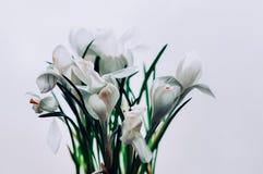 Um grupo do açafrão branco isolado floresce na flor Foto de Stock Royalty Free