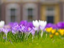 Um grupo do açafrão violeta Foto de Stock